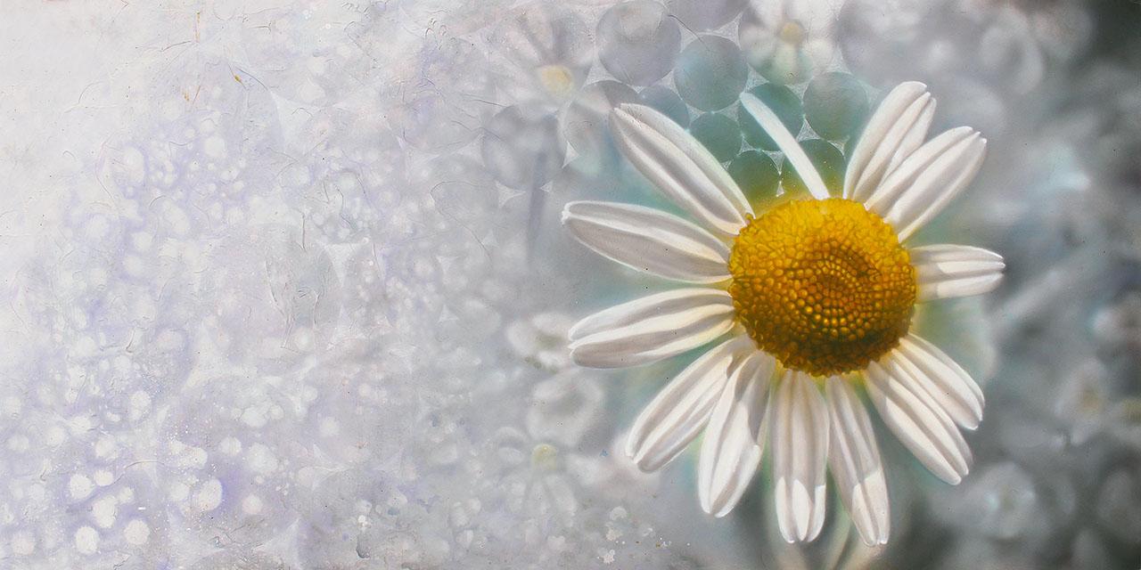 chamomile eric nez